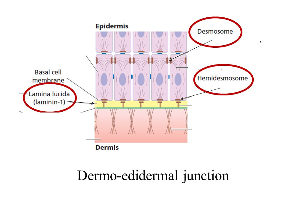 Dermo-edidermal junction