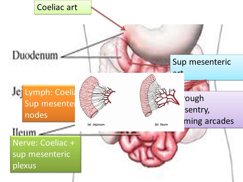 Lymph: Coeliac + Sup mesenteric nodes