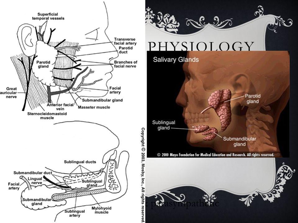 Anatomy & Physiology Parotid Sublingual Submandibular
