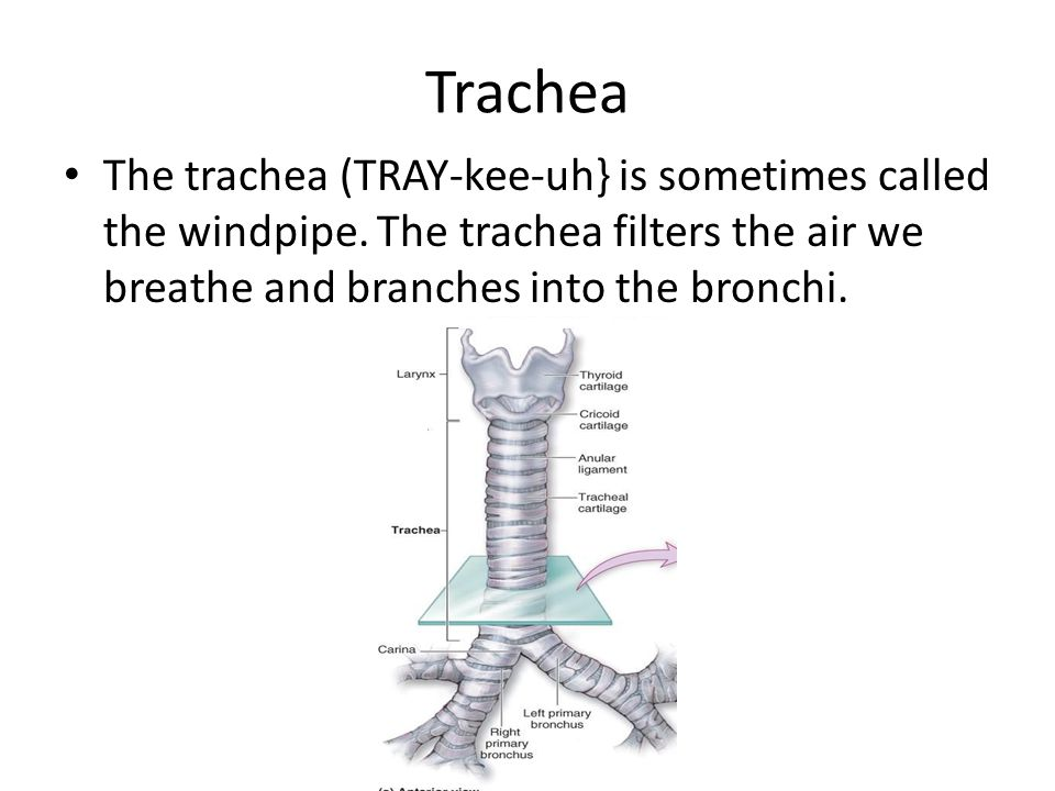 Trachea The trachea (TRAY-kee-uh} is sometimes called the windpipe.