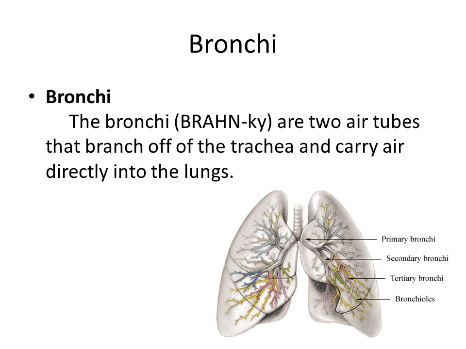 Bronchi Bronchi The bronchi (BRAHN-ky) are two air tubes that branch off of the trachea and carry air directly into the lungs.