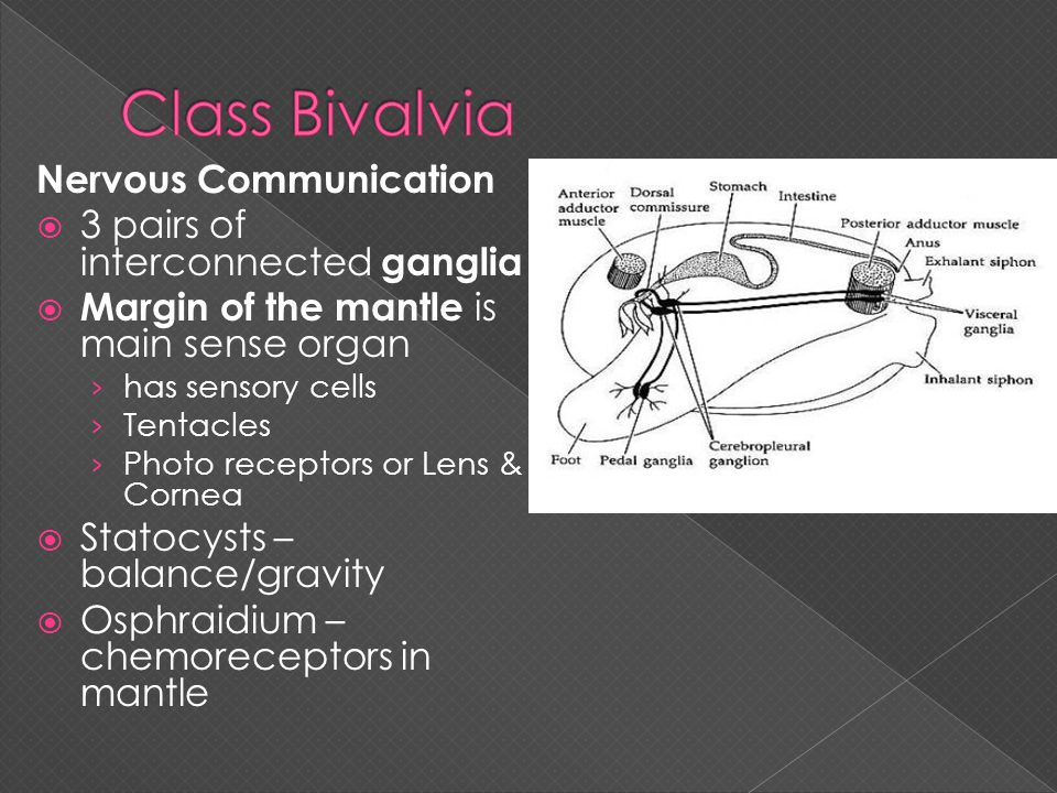 Class Bivalvia Nervous Communication 3 pairs of interconnected ganglia