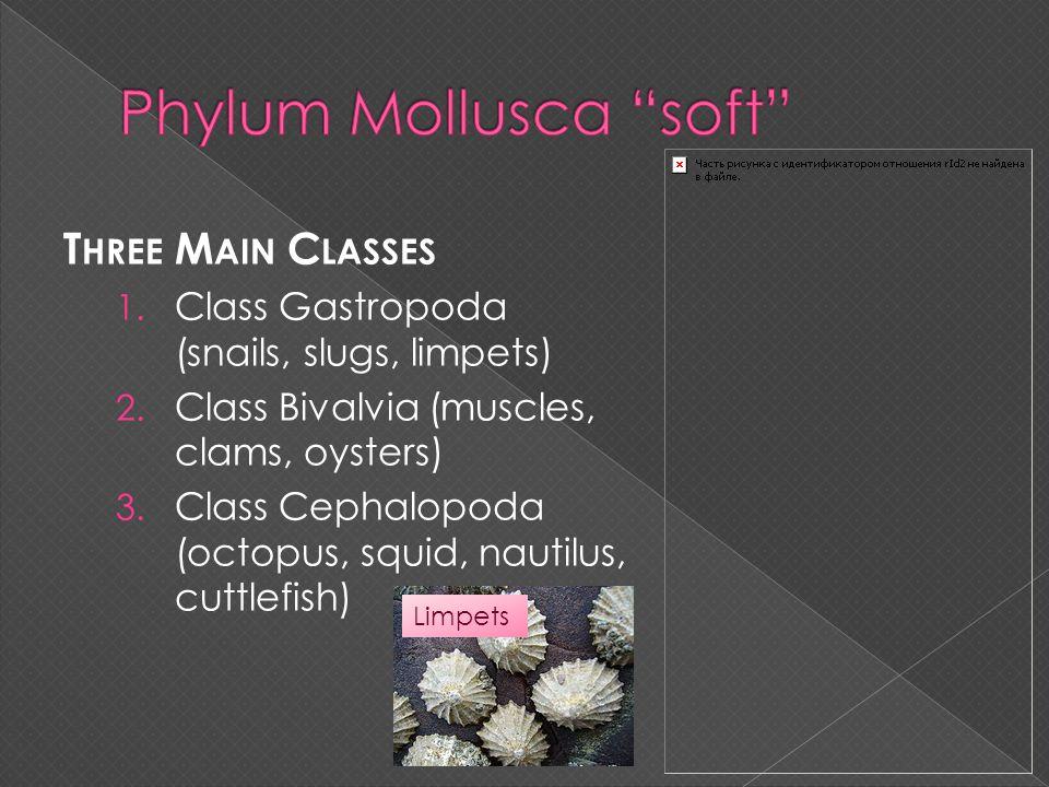 Phylum Mollusca soft