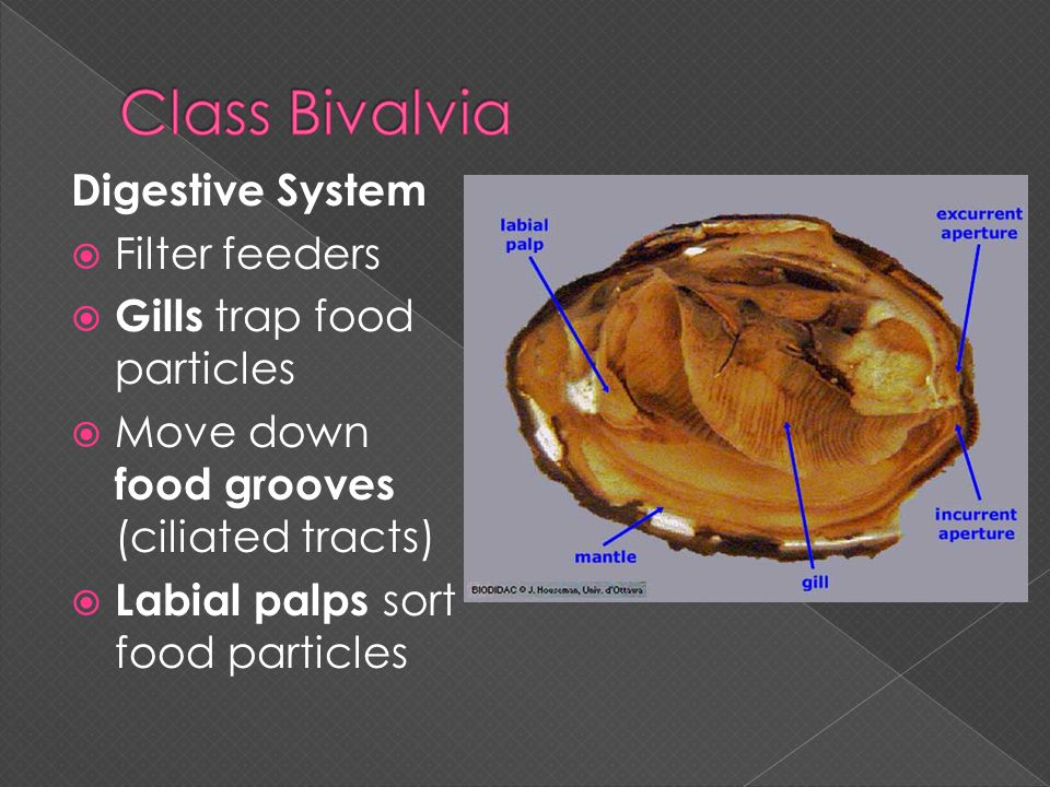 Class Bivalvia Digestive System Filter feeders
