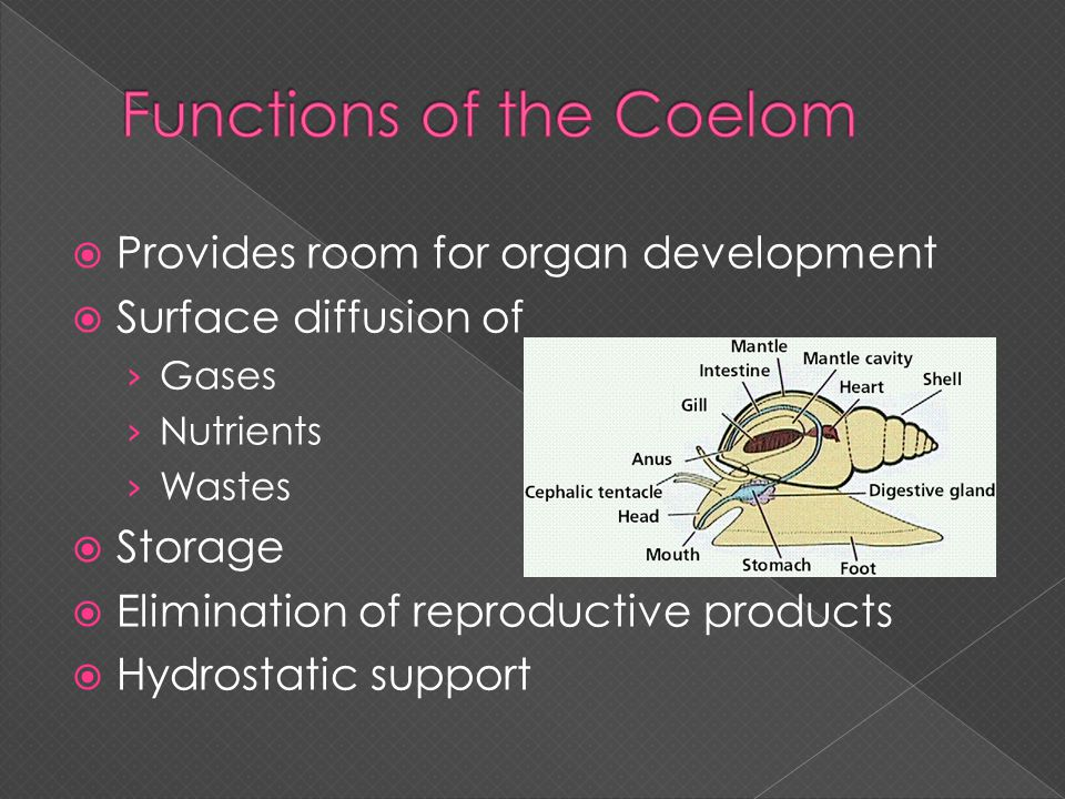 Functions of the Coelom