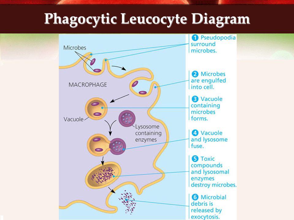 Phagocytic Leucocyte Diagram