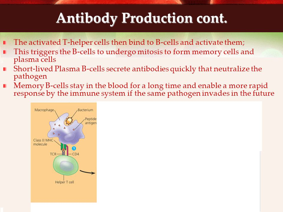 Antibody Production cont.