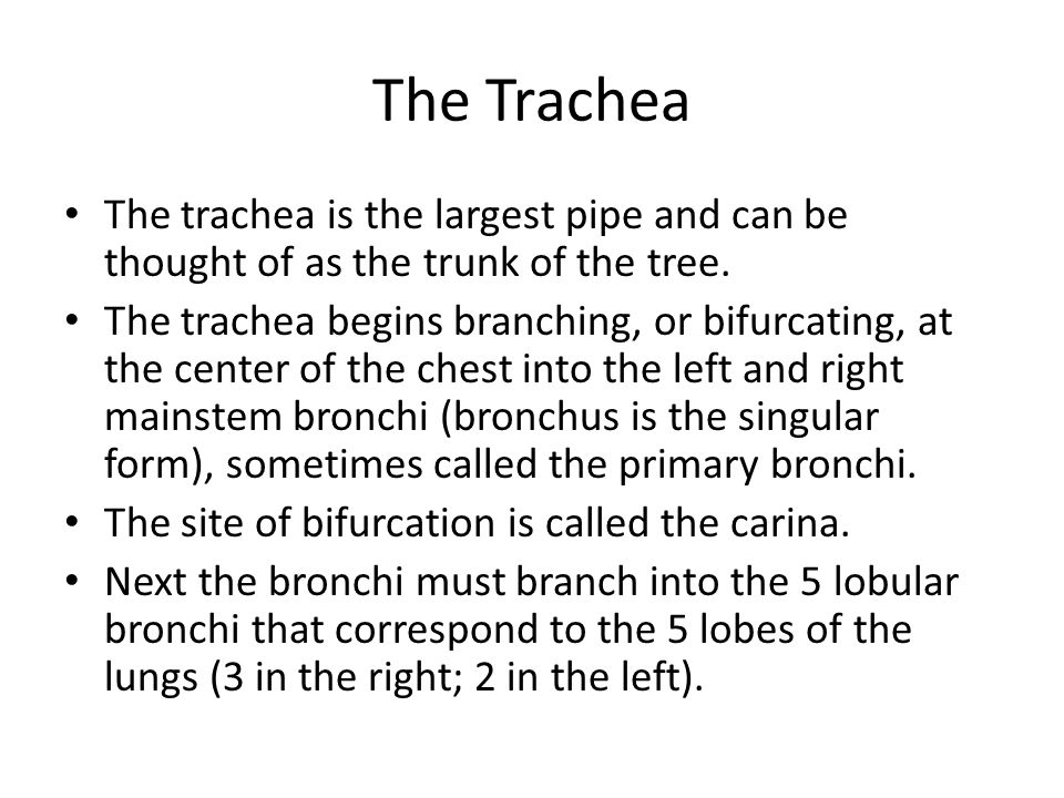 The Trachea The trachea is the largest pipe and can be thought of as the trunk of the tree.