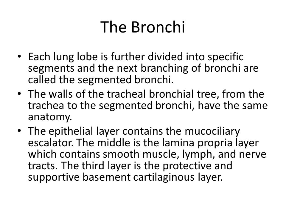 The Bronchi Each lung lobe is further divided into specific segments and the next branching of bronchi are called the segmented bronchi.