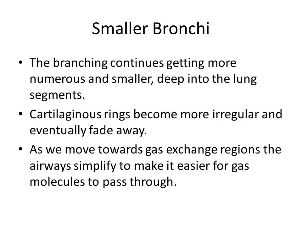 Smaller Bronchi The branching continues getting more numerous and smaller, deep into the lung segments.