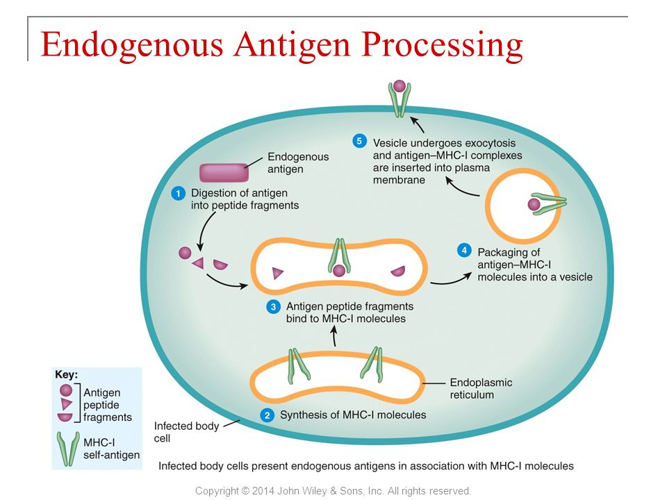 Endogenous Antigen Processing