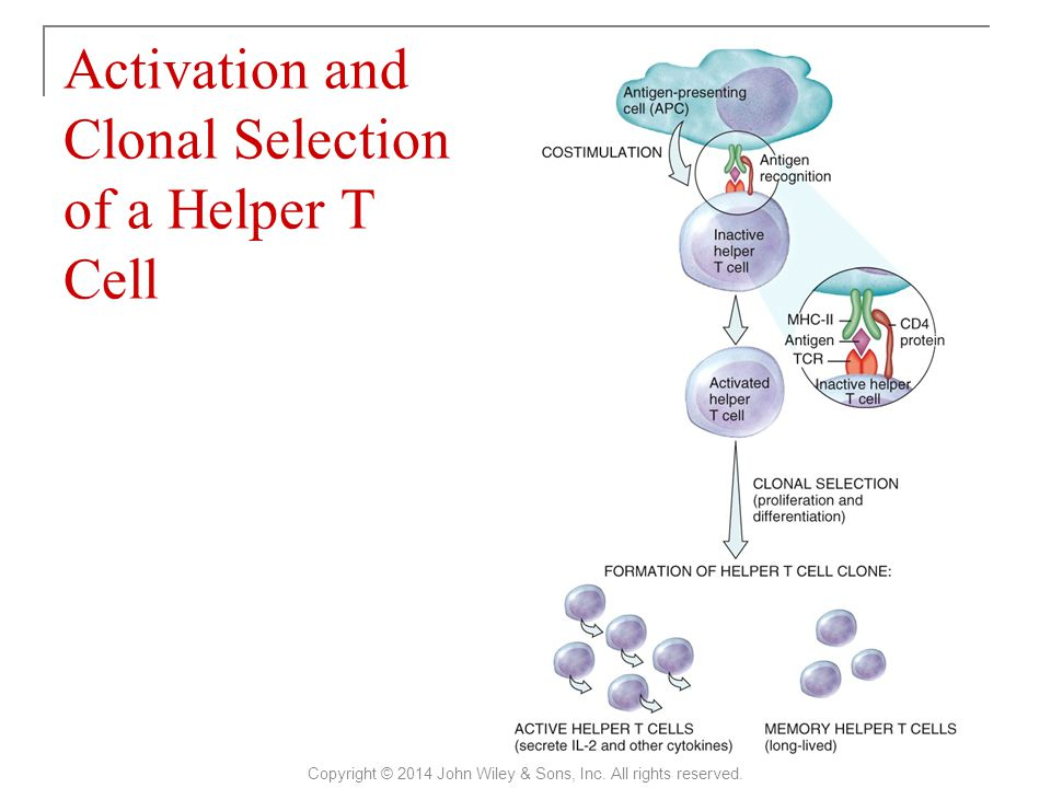 Activation and Clonal Selection of a Helper T Cell