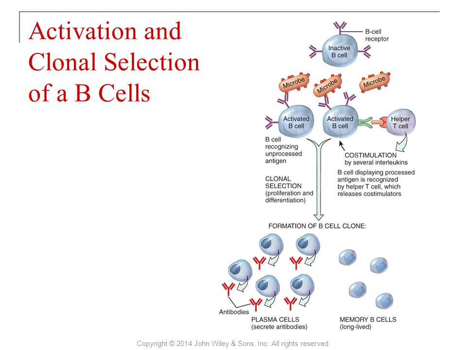 Activation and Clonal Selection of a B Cells