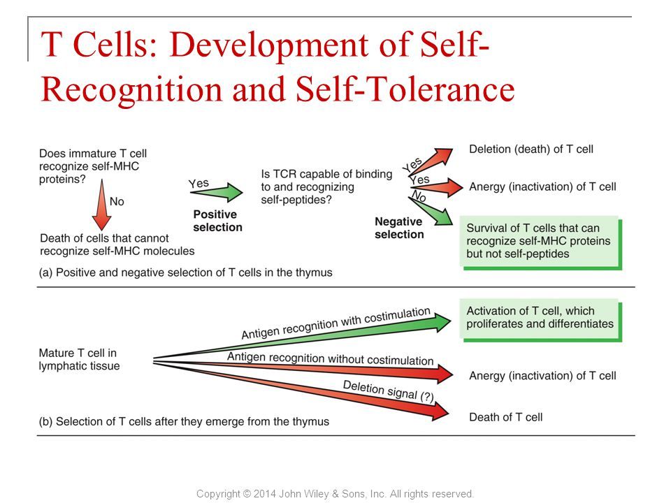 T Cells: Development of Self-Recognition and Self-Tolerance