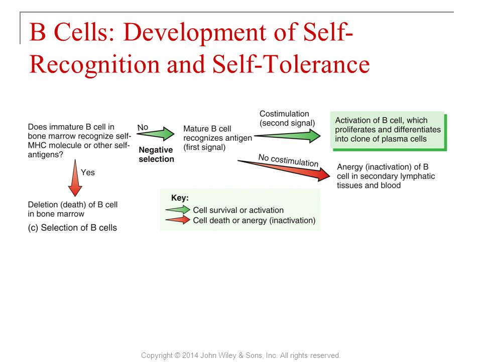 B Cells: Development of Self-Recognition and Self-Tolerance