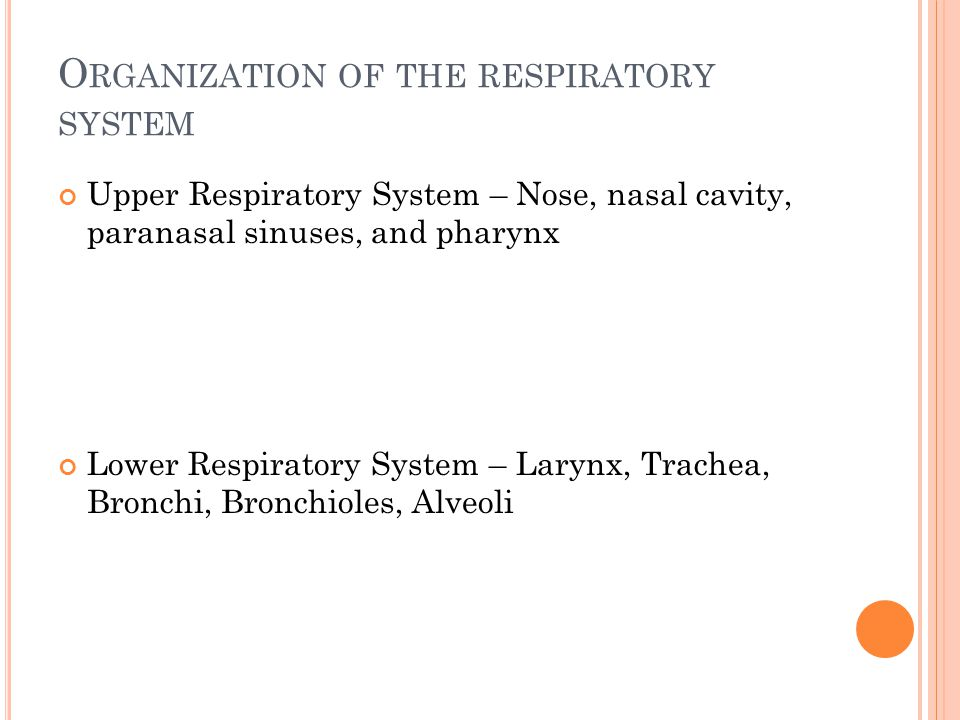Organization of the respiratory system