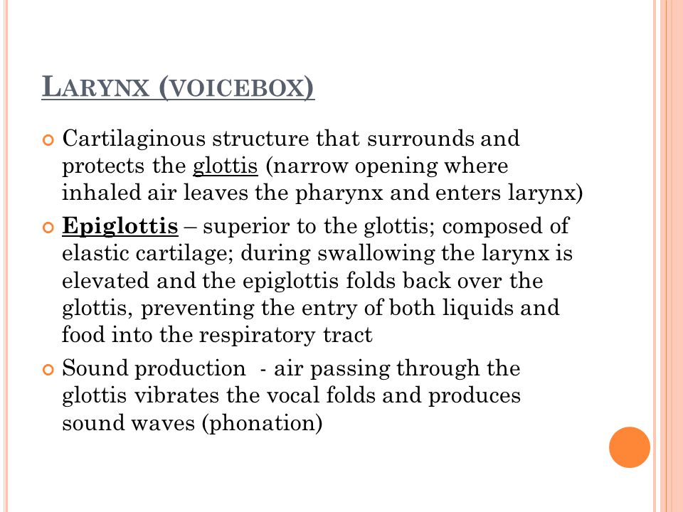 Larynx (voicebox)