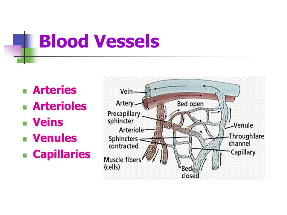 Blood Vessels Arteries Arterioles Veins Venules Capillaries