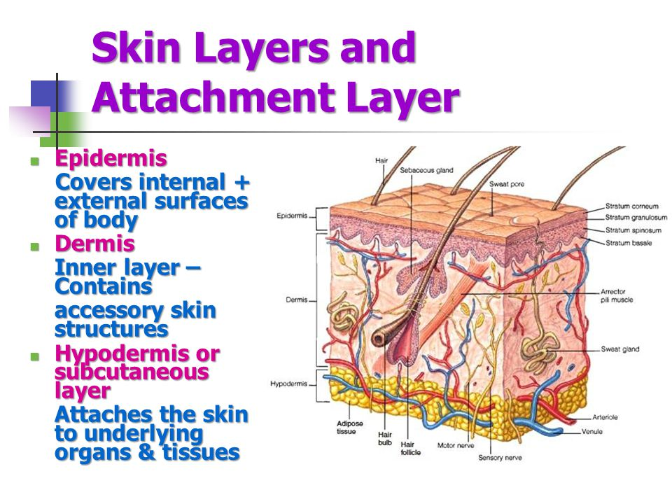 Skin Layers and Attachment Layer