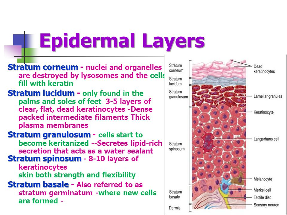 Epidermal Layers Stratum corneum - nuclei and organelles are destroyed by lysosomes and the cells fill with keratin.