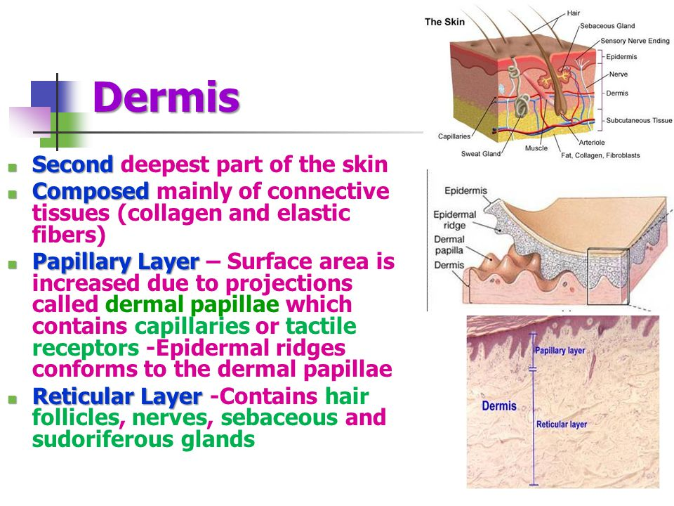 Dermis Second deepest part of the skin