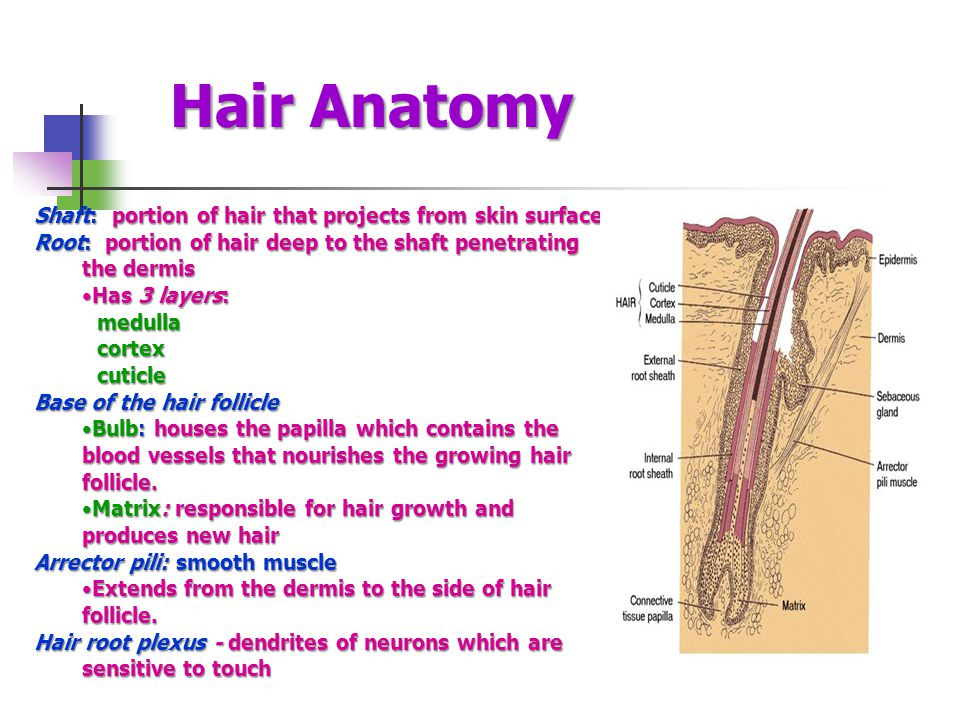 Hair Anatomy Shaft: portion of hair that projects from skin surface