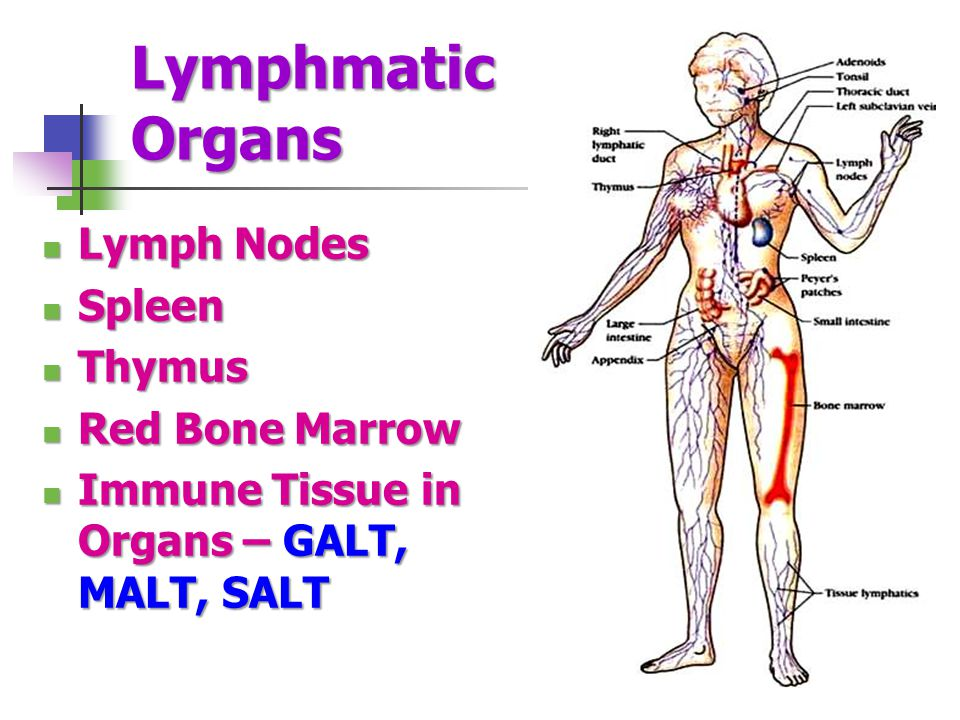 Lymphmatic Organs Lymph Nodes Spleen Thymus Red Bone Marrow