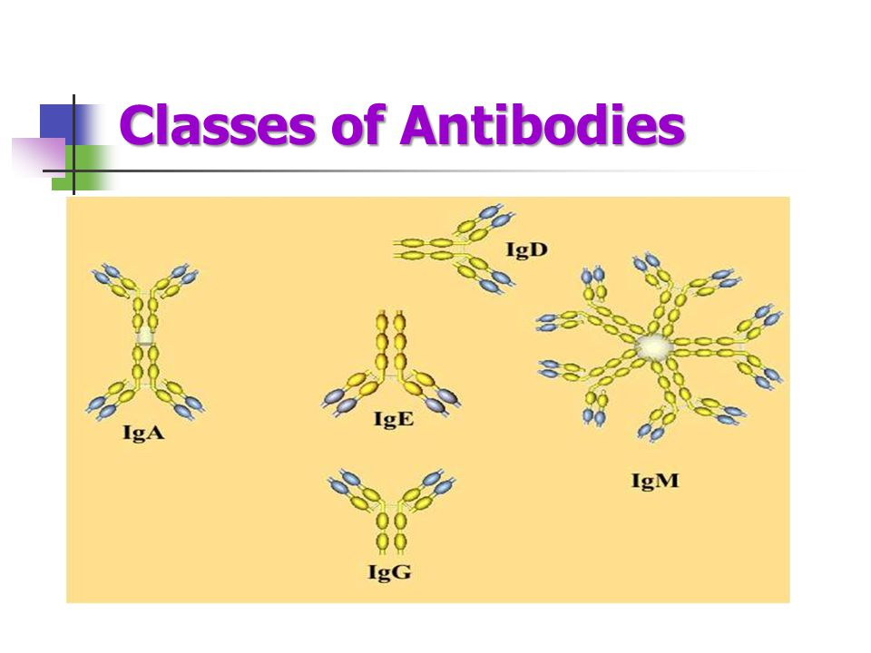 Classes of Antibodies