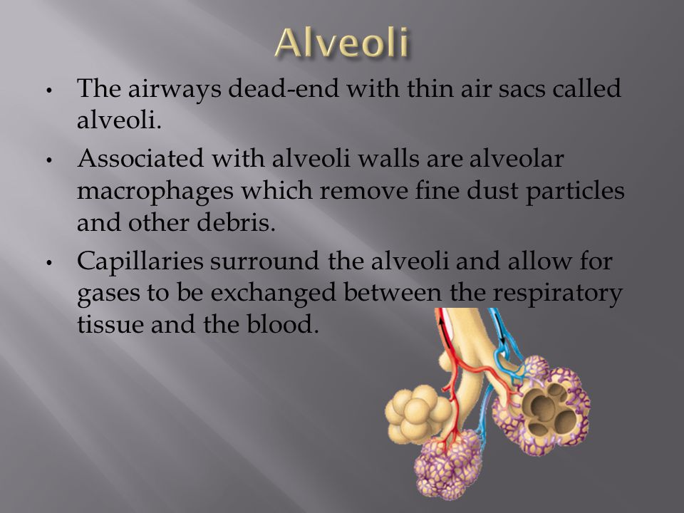 Alveoli The airways dead-end with thin air sacs called alveoli.