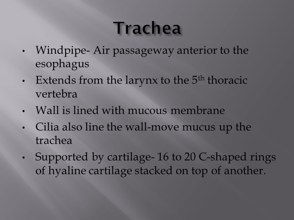 Trachea Windpipe- Air passageway anterior to the esophagus