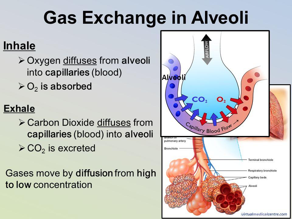 Gas Exchange in Alveoli