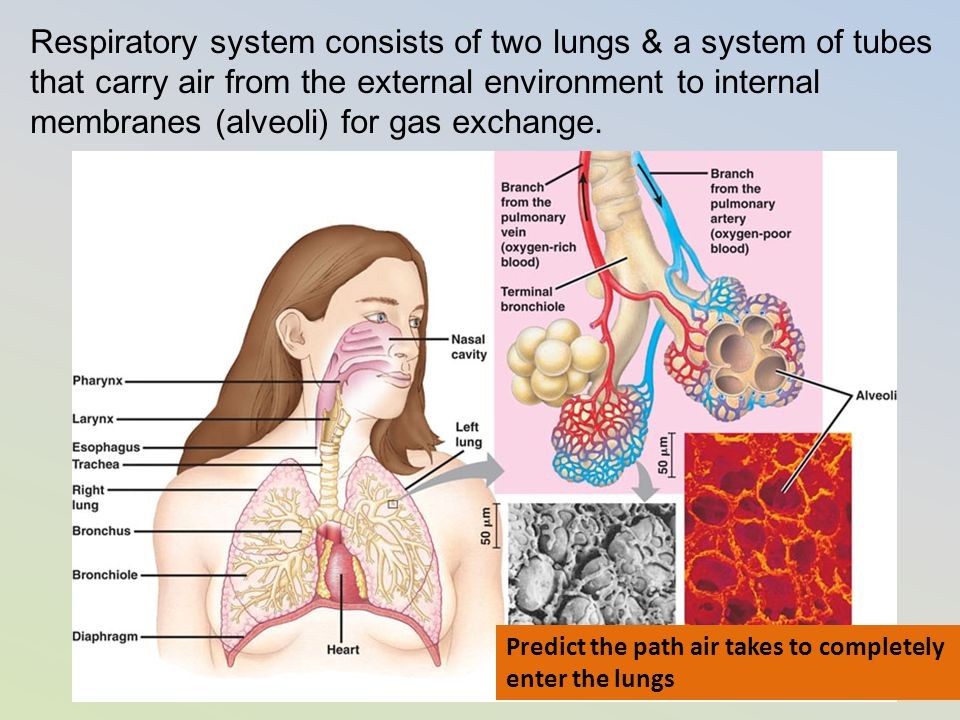 Respiratory system consists of two lungs & a system of tubes that carry air from the external environment to internal membranes (alveoli) for gas exchange.