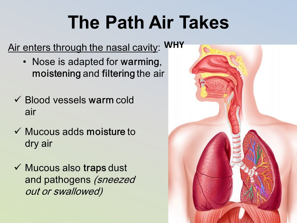 The Path Air Takes WHY Air enters through the nasal cavity: