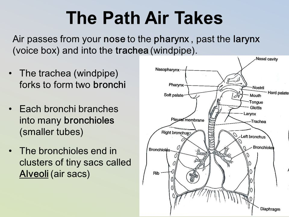 The Path Air Takes Air passes from your nose to the pharynx , past the larynx (voice box) and into the trachea (windpipe).