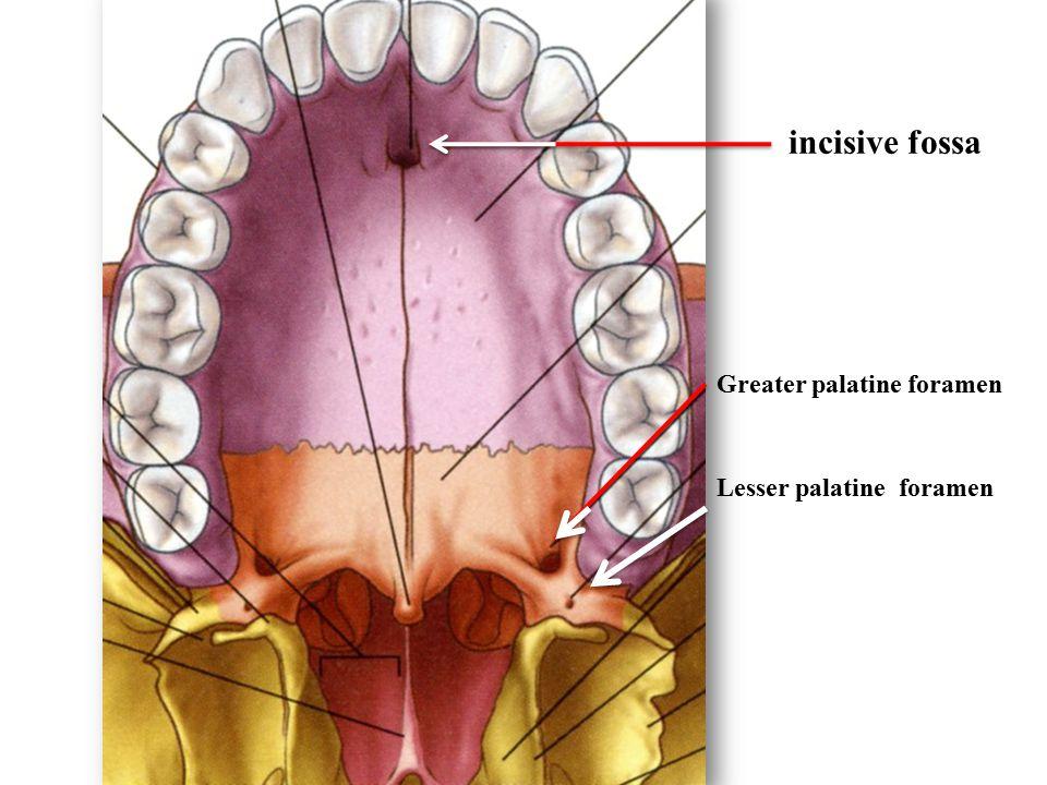 incisive fossa Greater palatine foramen Lesser palatine foramen