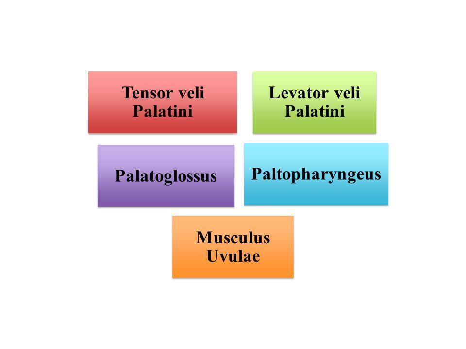 Tensor veli Palatini Levator veli Palatini Palatoglossus Paltopharyngeus Musculus Uvulae