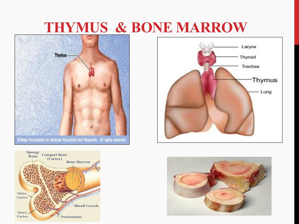 Thymus & Bone marrow