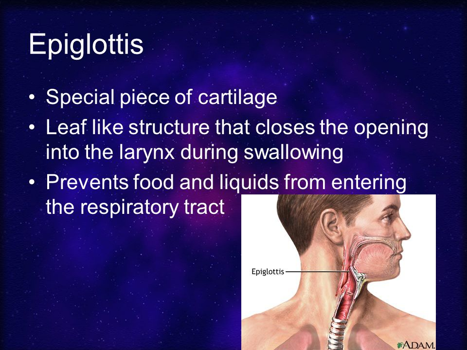 Epiglottis Special piece of cartilage
