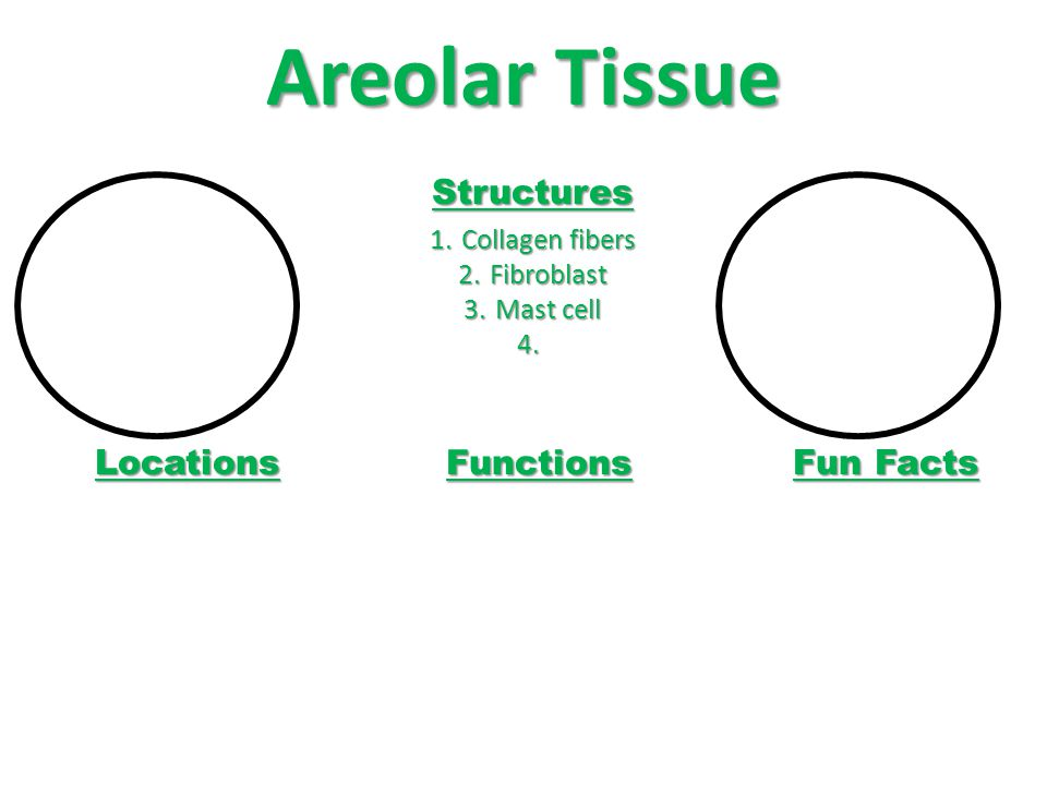 Areolar Tissue Structures Locations Functions Fun Facts