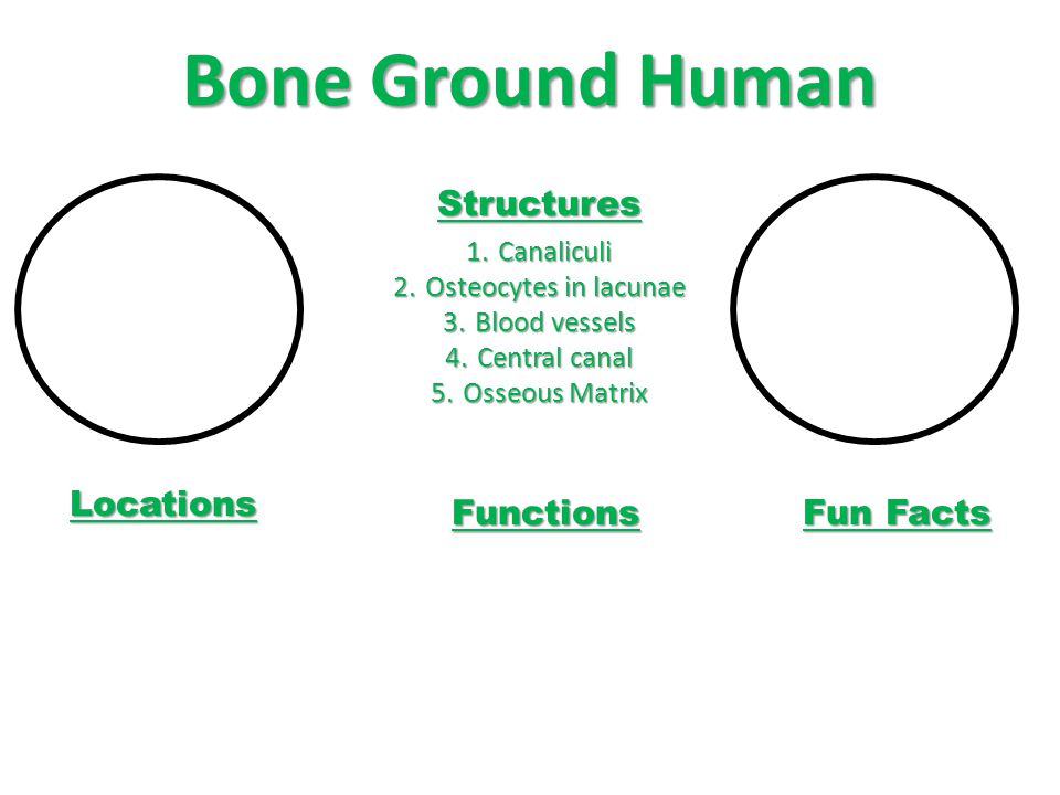Bone Ground Human Structures Locations Functions Fun Facts Canaliculi