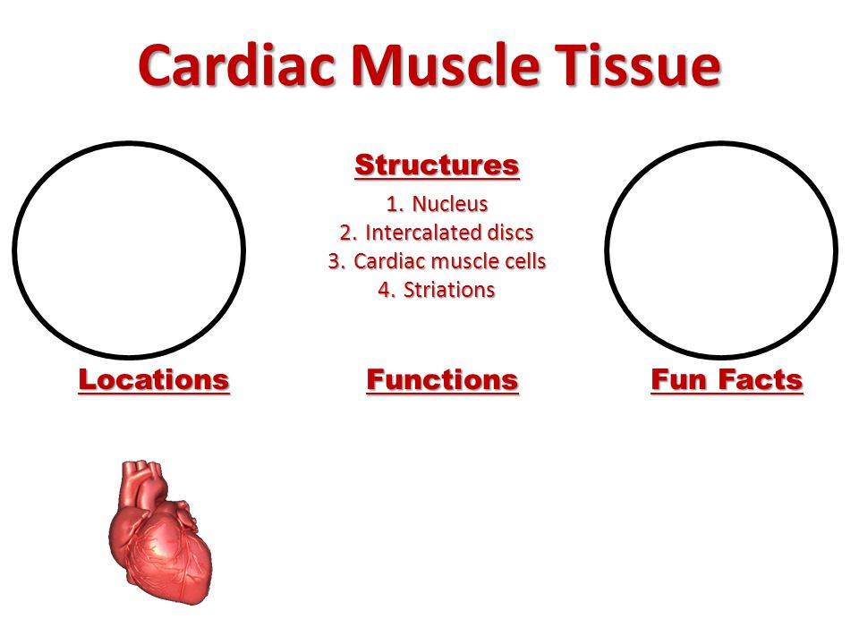 Cardiac Muscle Tissue Structures Locations Functions Fun Facts Nucleus