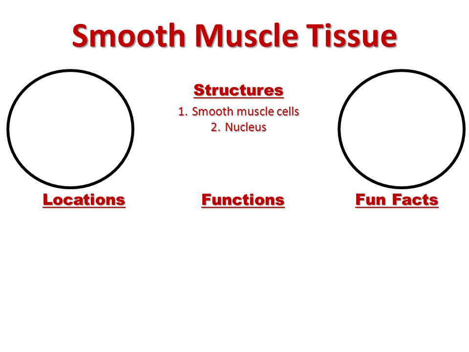 Smooth Muscle Tissue Structures Locations Functions Fun Facts