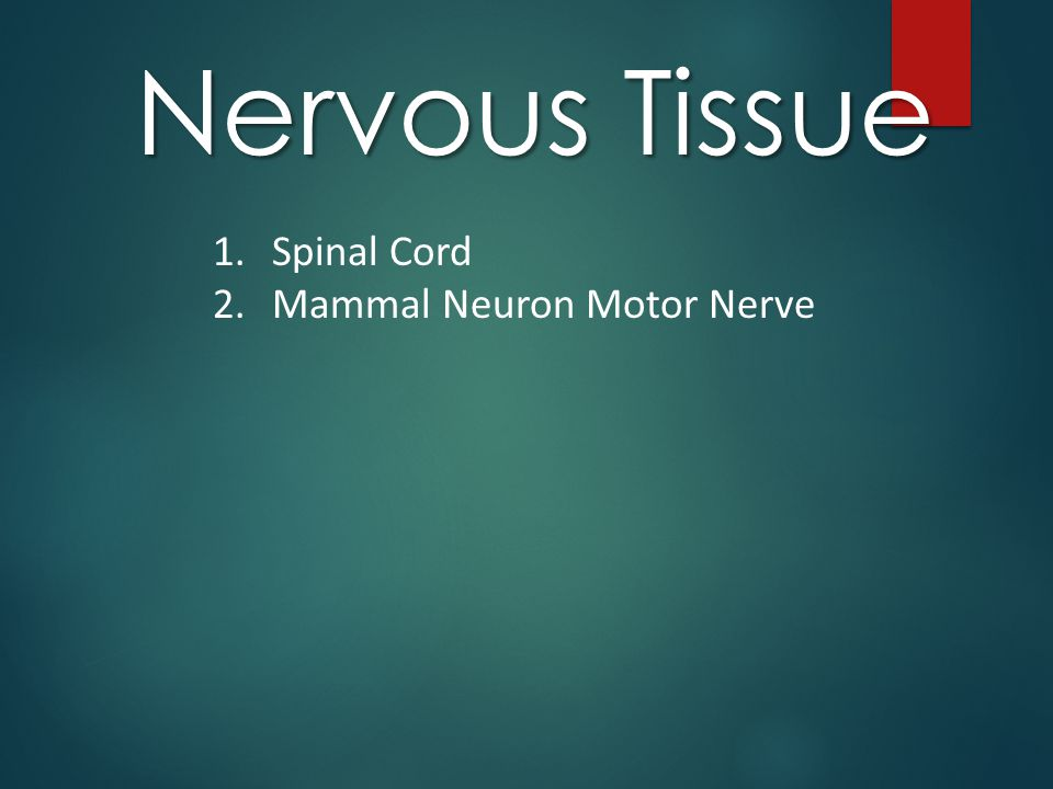 Nervous Tissue Spinal Cord Mammal Neuron Motor Nerve