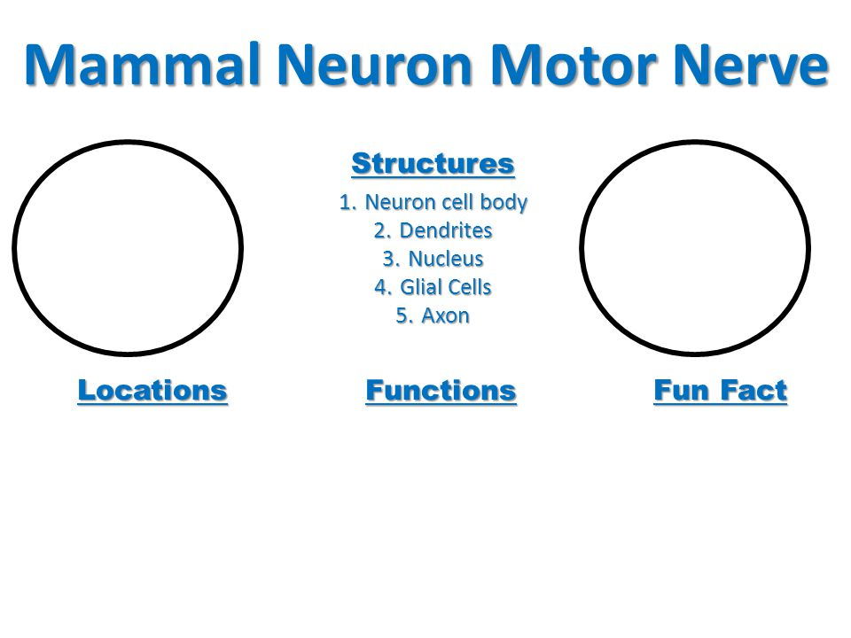 Mammal Neuron Motor Nerve