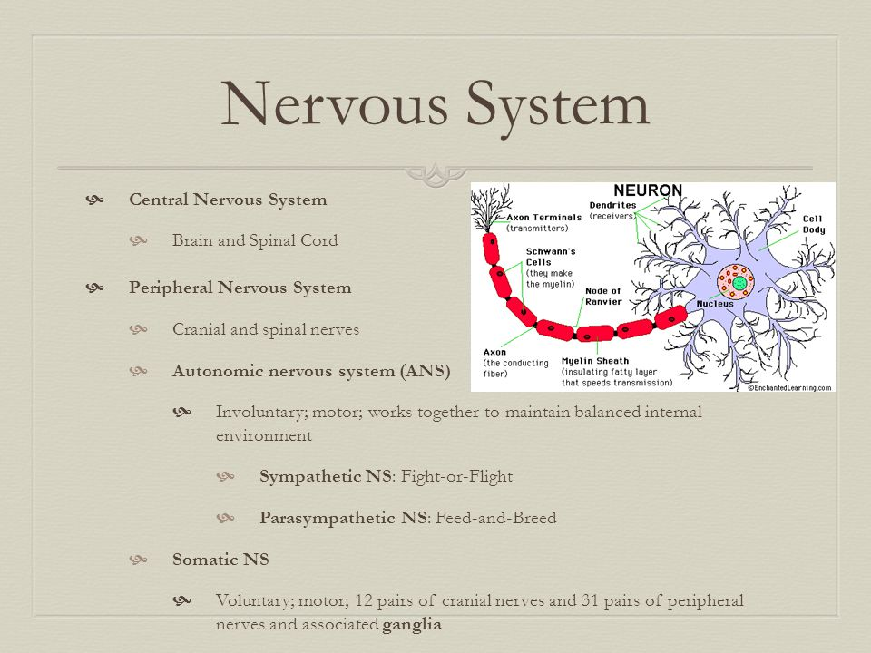Nervous System Central Nervous System Brain and Spinal Cord