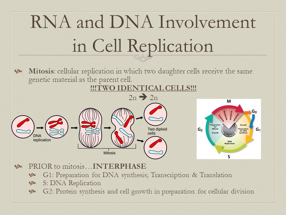 RNA and DNA Involvement in Cell Replication