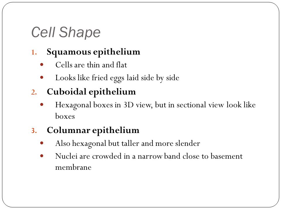 Cell Shape Squamous epithelium Cuboidal epithelium Columnar epithelium