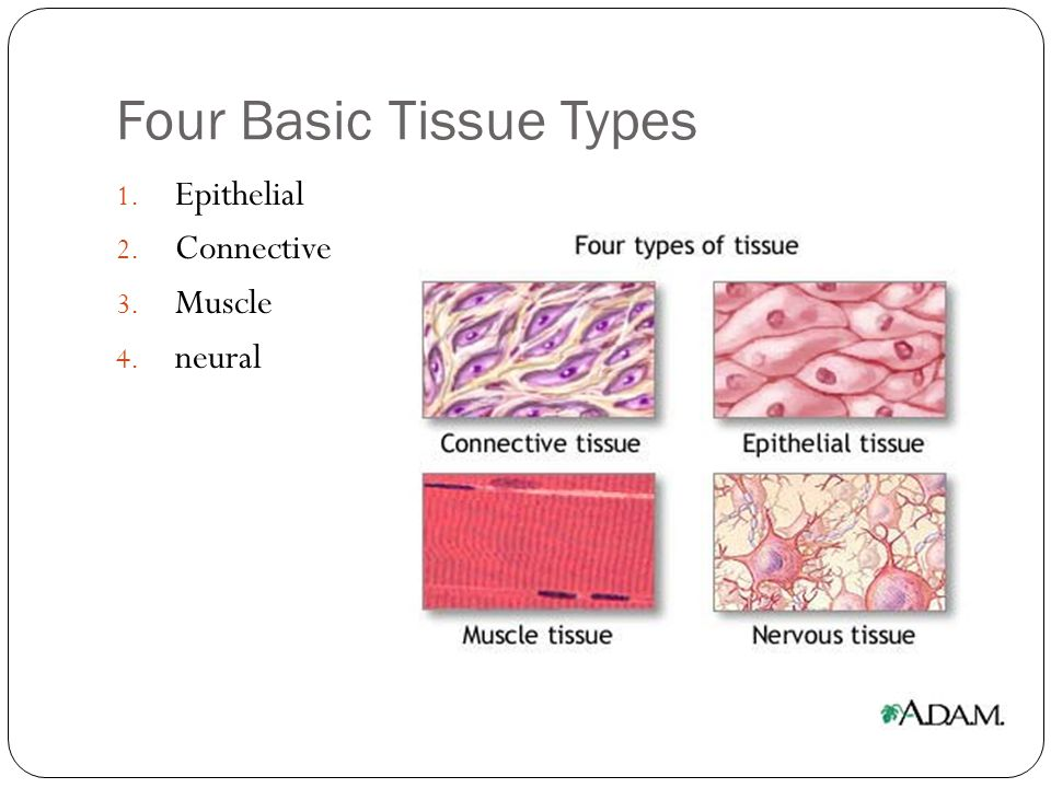 Four Basic Tissue Types