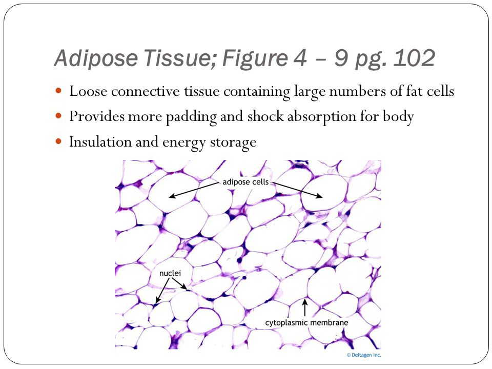 Adipose Tissue; Figure 4 – 9 pg. 102