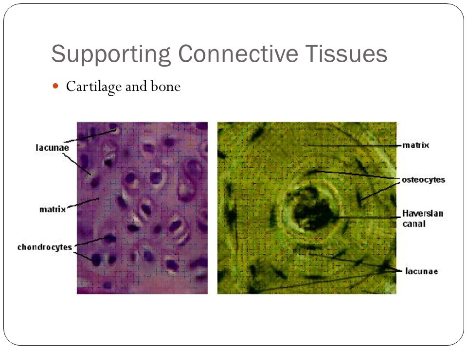 Supporting Connective Tissues